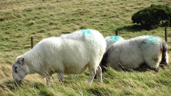 Photo de Plus de moutons que d'Irlandais ?